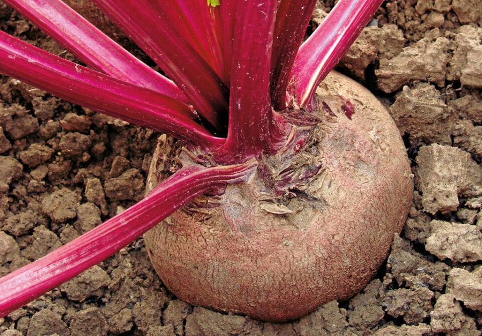 Beetroot plant still in the soil.