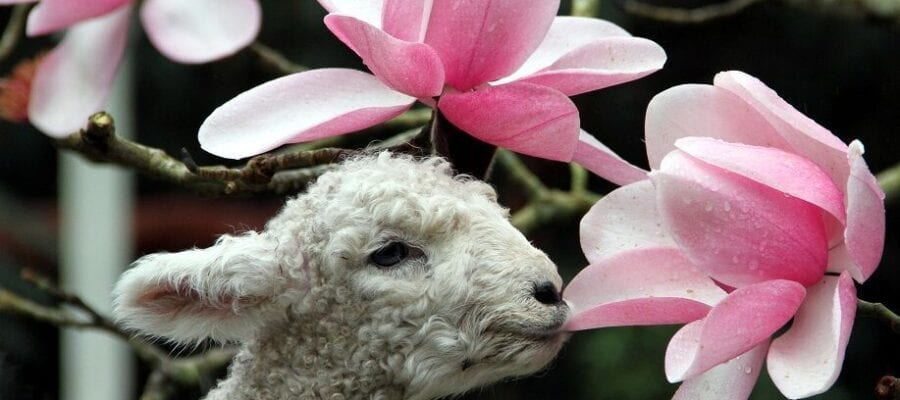 Spring soon to be announced in Cornwall as champion Magnolias bloom