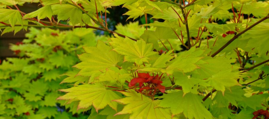 The Magic of Maples