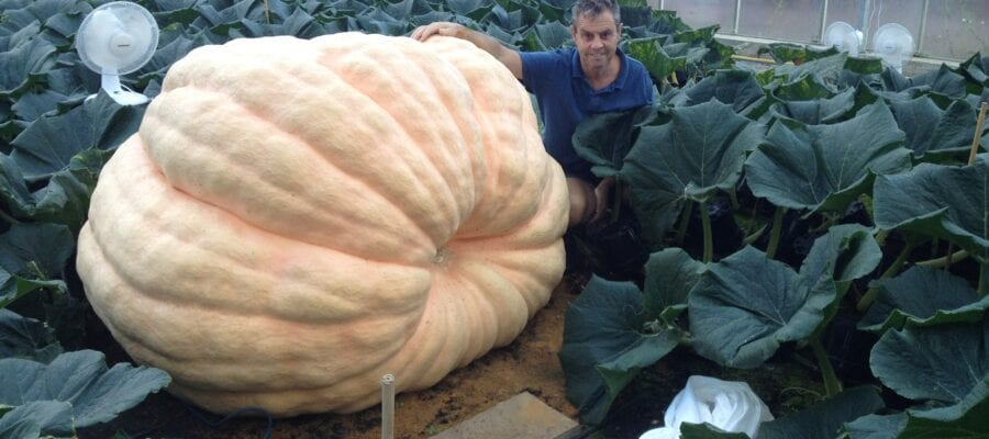 Paton pumpkins set for new record