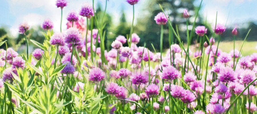 Chives: Star of the Herb Garden