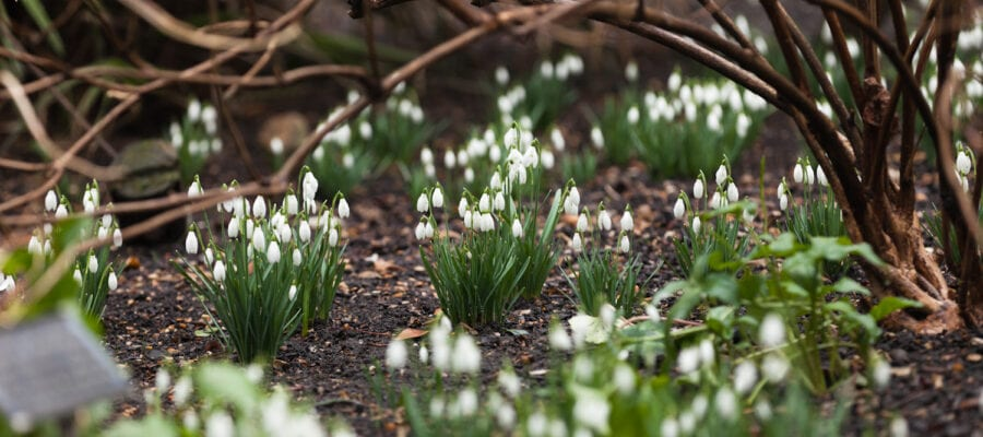Snowdrop spectacular gives added zing to spring