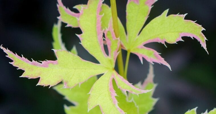 Chelsea Plant of the Year contenders