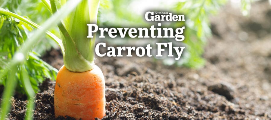 Video: How to Prevent Carrot Fly