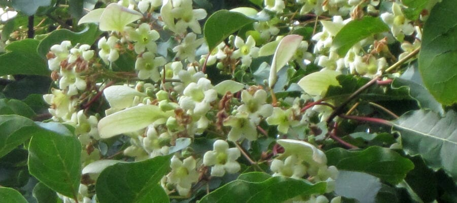 Rare tree flowers for the first time ever at Batsford Arboretum