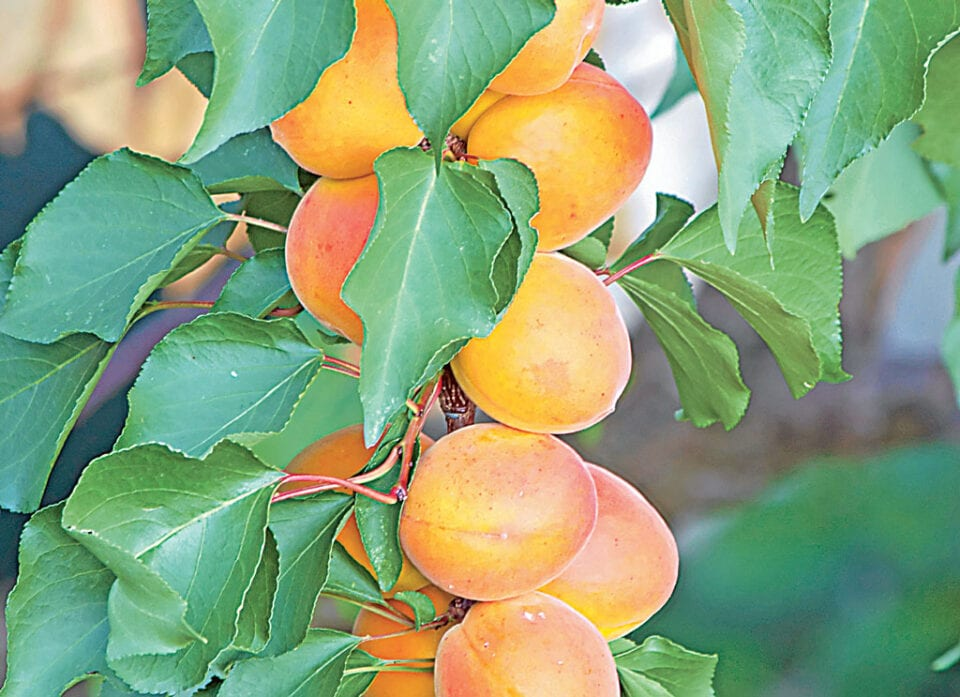 An apricot tree with lots of ripe apricots.