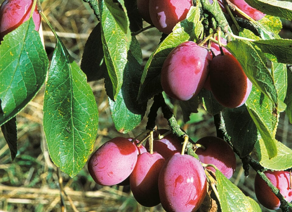 A bunch of plums hanging from it's tree.