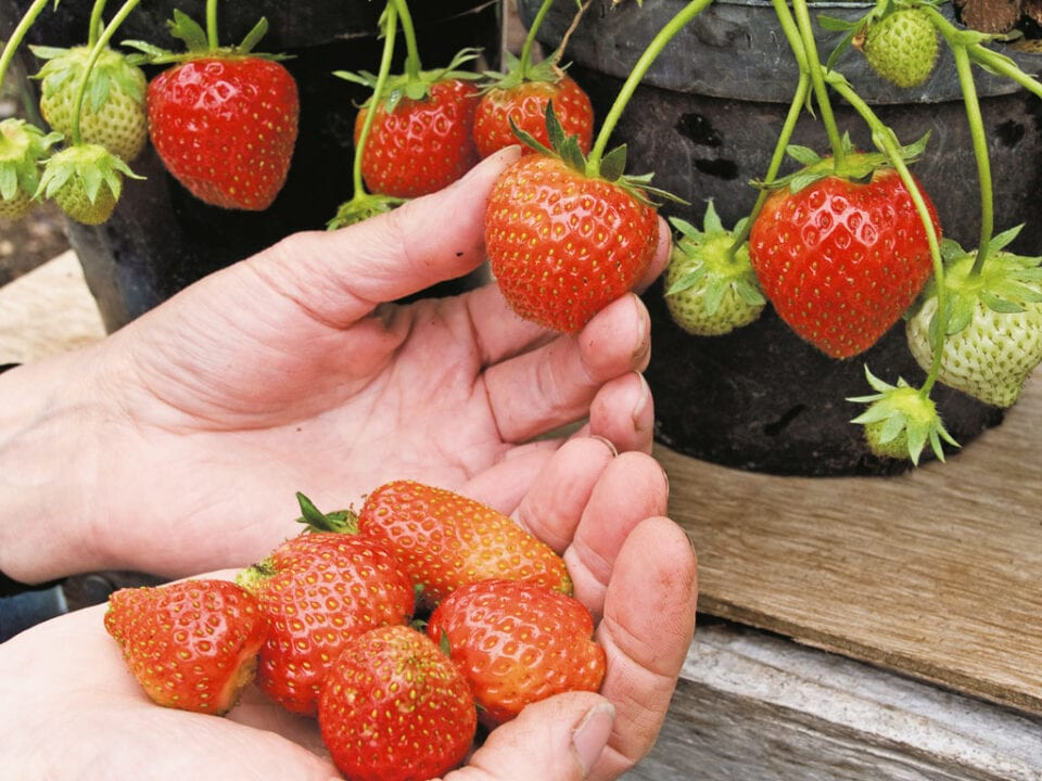 A hand grasping a ripe Strawberry on it's stem.