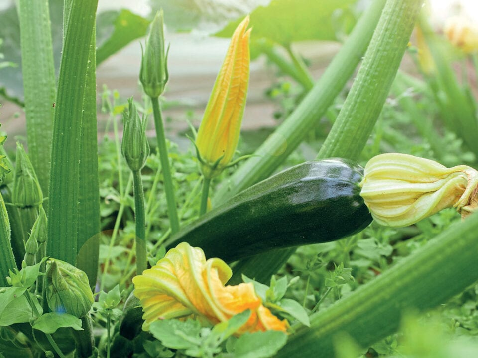 A close up of nearly fully grown courgettes with blossoms.