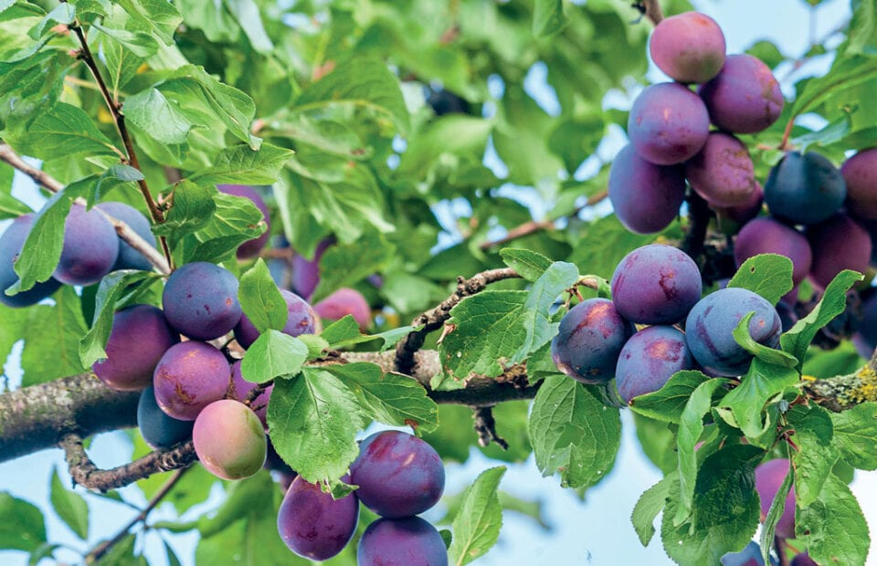Plums on a tree.